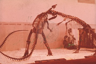 Three_of_the_first_mounted_dinosaurs_from_the_C_LDQ_were_displayed_in_1968_at_the_opening_of_the_new_Utah_Museum_of_Natural_History_They_are_an_Allosaurus_attacking_a_Camptosaurus_while_a_second_Allosaurus_looks_on_